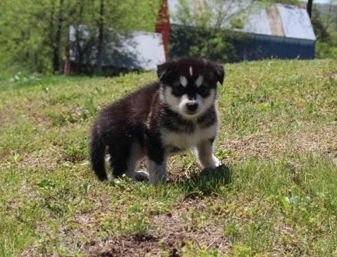 AKC registered Alaskan Malamute Puppies For Sale