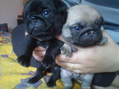 # # ??? Available Beautiful Pug puppies???**