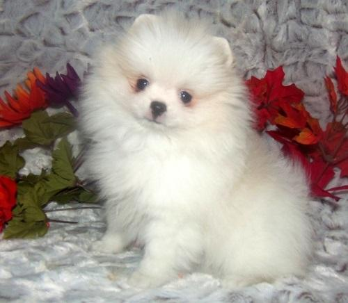 FREE Beautiful Po.m.sky Pu.pp.ies Available:(410) 803-6944