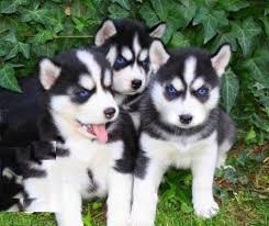 Healthy Siberia.n Husk.y puppies!!! (302) 585-5821