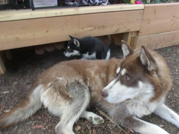 Quality siberians huskys Puppies:contact us at (443) 863-9158