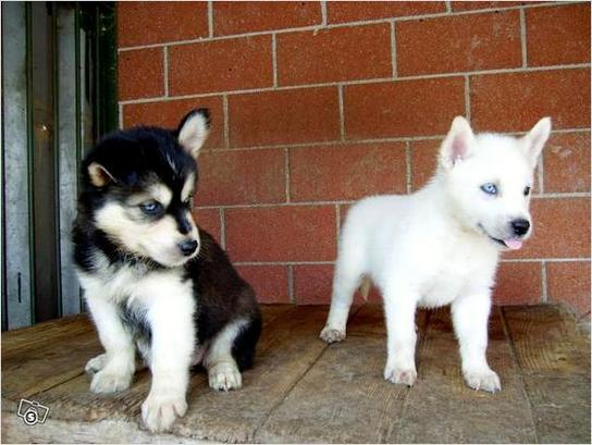 Vaccinated registered male and female puppies
