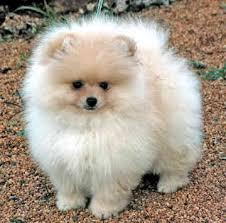 @@@ Male and Female Pomeranianss Puppies Available@(770) 666-0417