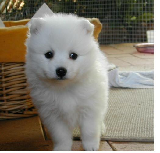 Two Gorgeous J.a.p.a.n.e.s.e   s.p.i.t.z  Puppies Available-=-=-=