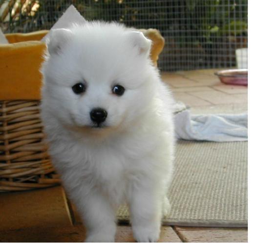 Two Gorgeous J.a.p.a.n.e.s.e   s.p.i.t.z  Puppies Available-*