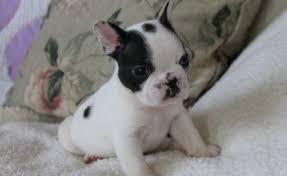 Healthy  M/F English B.u.l.l.d.o.g Puppies!!!
