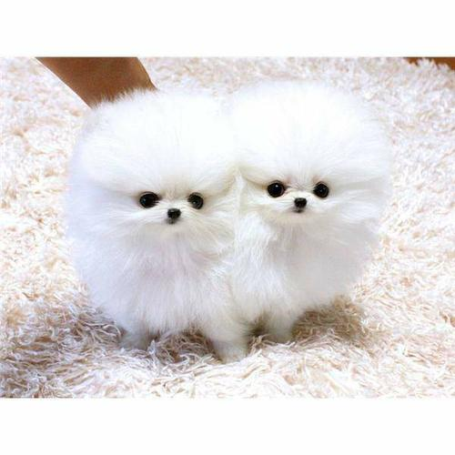 Male and Female Pomeranianss Puppies Available (858) 956-8170