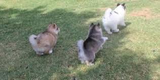 CUTE S.I.B.E.R.I.A.N H.U.S.K.Y Puppies*****(412) 423-6575