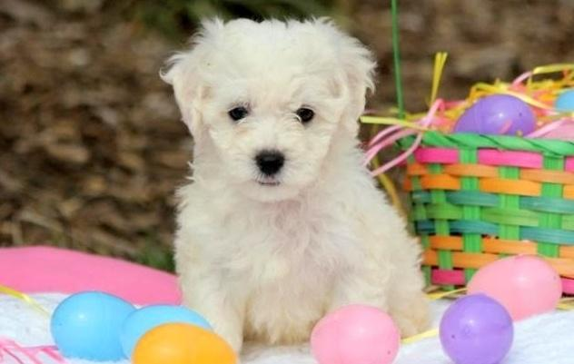 PennySaver | Cute & Trained Little Bichon Frise Puppies For
