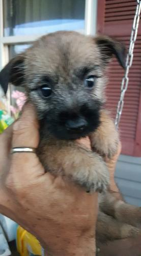 VET CHECKED CAIRN TERRIER PUPPIES LOOKING FOR A NEW HOME