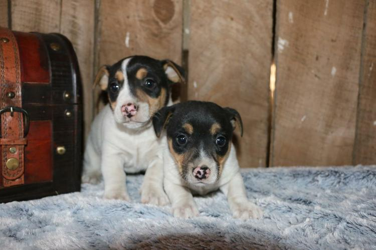 Jack Russell Terrier Puppies!!!are a joy!
