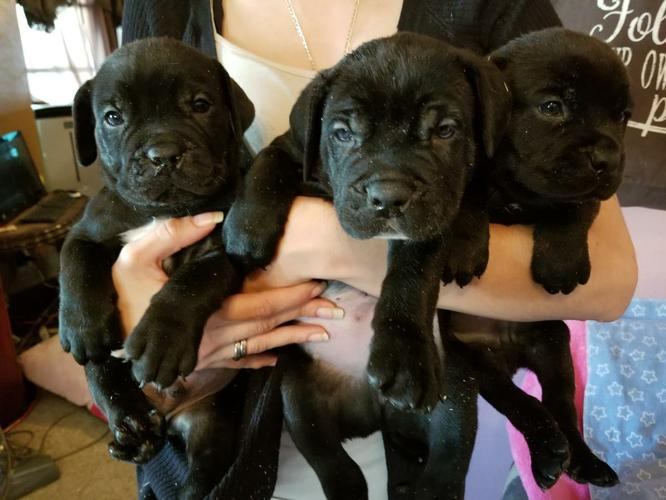 Awesome Cane Corso Puppies