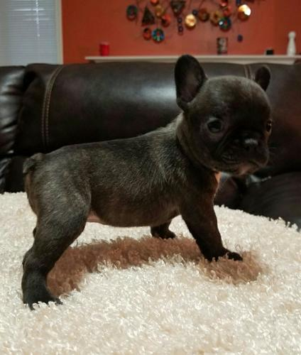 Male And Female French Bulldogs For You
