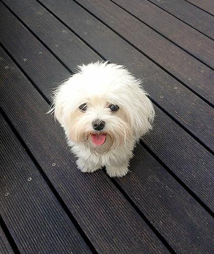 male and female maltese for sale