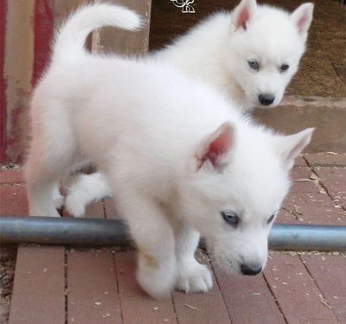 blue eyes S.I.B.E.R.I.A.N. H.U.S.K.Y Puppies (303) 351-7492