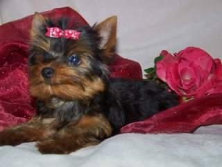 Pretty male and female  Y.o.r.k.s.h.i.r.e Puppies(302)583-3421