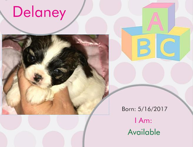 Pennysaver Shi Chi Teddy Bear Puppies For Sale In Vance