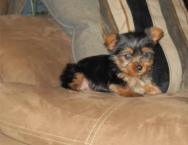 M.o.R.k.i.e P.upp.i.e.s For F.r.e.e, Ready Now 3 months Old # (919) 391-8697