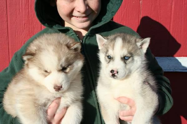 Gorgeous pomsky puppies looking for good homes//(303) 927-0227