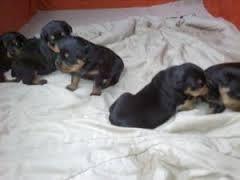 FREE*FREE GER MAN R.o.t.t.w.e.i.l.e.r Puppies.sms for  details(301) 463-7620 thanks