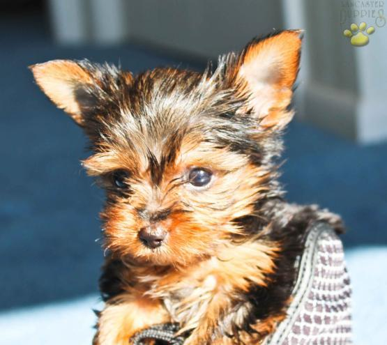 Y.o.R.k.i.e P.upp.i.e.s For A.dop.tion Ready Now 3 months Old # (815 317 4959