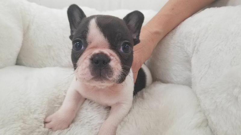 12 weeks Exceptionally Rare Frenchies Ready Now for their New Homes