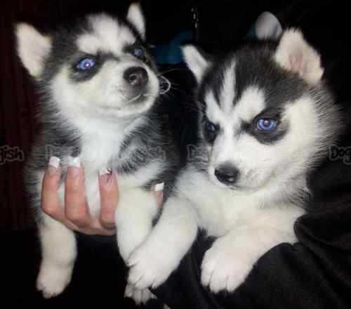 Quality siberians huskys Puppies:contact us at (501) 291-1770