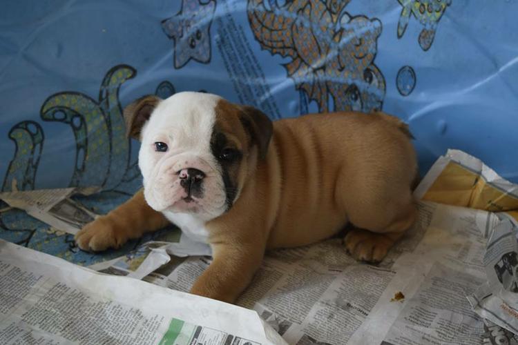 Pretty Female and Male FreeE.N.G.L.I.S.H. B.U.L.L.D.O.G puppie.s 4433048284