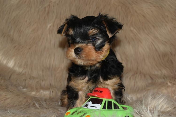 # ?? Quality Teacup Yorkies Puppies:....??** (505) 596-1283