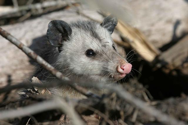 Opossum Removal in NJ