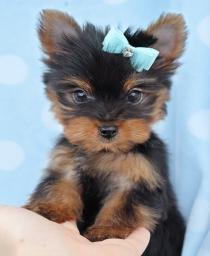 beautiful and Cute T.E.A.C.-U.-P. Y.O.R.K.I.E.