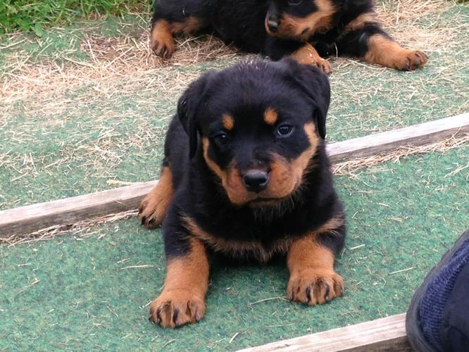 Magnificent M/F Rottweilers Puppies!!!(719) 838-2388