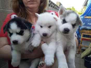 Healthy P.O.m.A.R.A.N.I.A.N puppies!!!(785) 363-9340