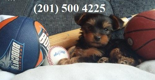 Small T.e.A.c.U.P Y.o.R.K.i.E puppies!!!(201) 500 4225