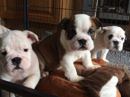 Affectionate M/F English B.u.l.l.d.o.g Puppies!!!415 675 1744