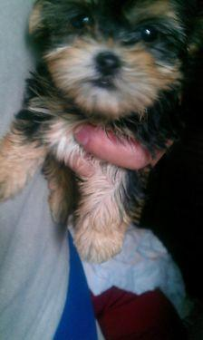 ?Y.o.R.k.i.e P.upp.i.e.s For F.r.e.e, Ready Now 12 Weeks Old (512) 561-7323