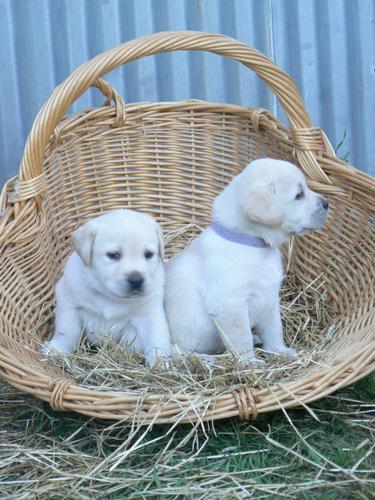 L.A.B.R.A.D.O.R Puppies available