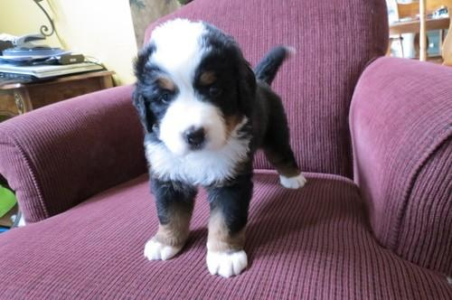 !!!! Admirable  Bernese Mountain Dog  Puppies:!!!contact us at (701) -645-1164