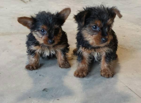 # ?? Quality Teacup Yorkies Puppies:....??** (443) 595-6290
