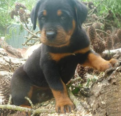 Pretty male and female G.r.e.m.a.n.R.o t.t.w.e.i.l.e.r PUPPIES for a good home.