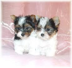 BEAUTIFUL Y.O.R.K.I.E.S Puppies: contact us at (915) 996-2344 any time