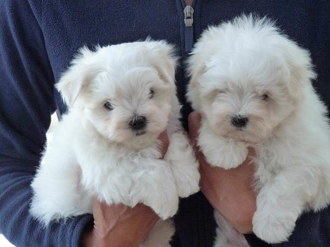Top Quality Malteses Puppies:....contact us at(218) 261-5984