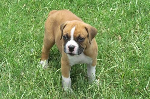 cute boxer puppies with good temperament...