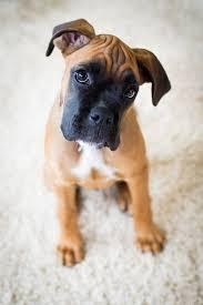male and female boxer puppies for good home