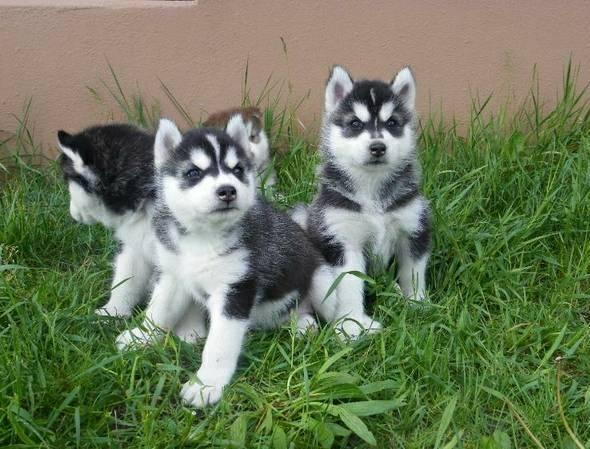 FREE  **  **Beautiful and Cute POMSKY P.U.P.I.E.S.?(912) 235-0913