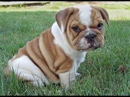 Cute e.n.g.l.i.s.h B.u.l.l.d.o.g Puppie.s 4108632099
