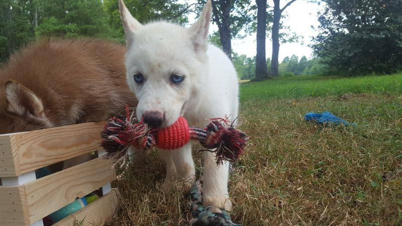 Adorable Male and Female Siberian Husky puppies for Adoption Blue Eyed.