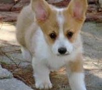Gorgeous p.e.m.b.r.o.k.e welsh corgi puppies!!!!Message me at (580)925-0595