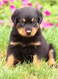 Astonishing Rottweilers Puppies (651) 347-6712