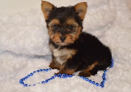 ?!!Y.o.R.k.i.e Pupp.i.e.s For n.e.w H.o.m.e.s,(8142257837/Ready Now 12 Weeks Old #
